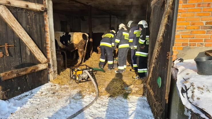 Strażacy uratowali byka, który wpadł do szamba