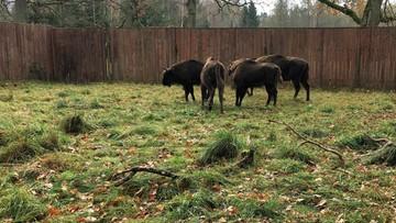 Polskie żubrzyce trafiły do czeskiego rezerwatu