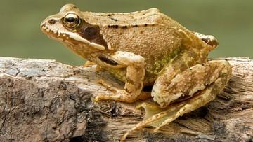 Żaby poczuły wiosnę i rozpoczęły wędrówki godowe