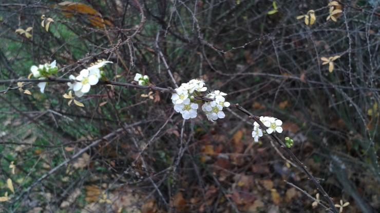W Warszawie wiosna - zielenią się i kwitną żywopłoty