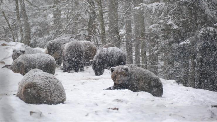 Bezsenność ukraińskich niedźwiedzi. Jest dla nich za ciepło