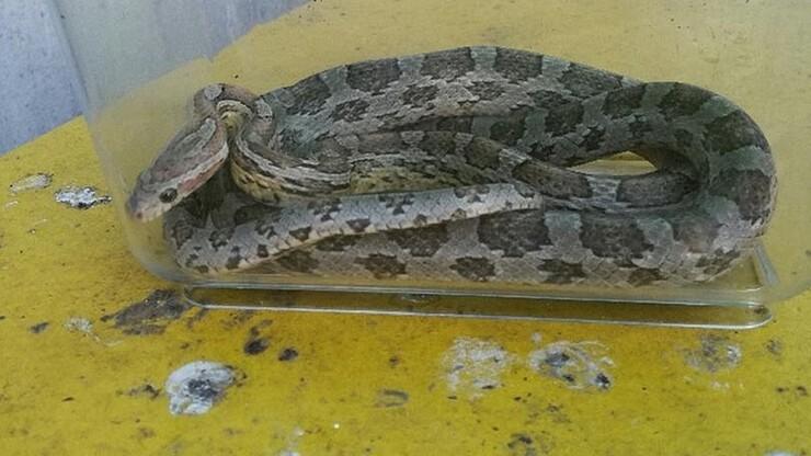 Poszedł wyrzucić śmieci, znalazł węża zbożowego