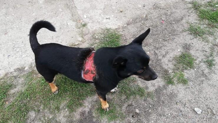 """""""Najpewniej został oskórowany lub poparzony"""". Skrzywdzony pies w gminie Duszniki"""