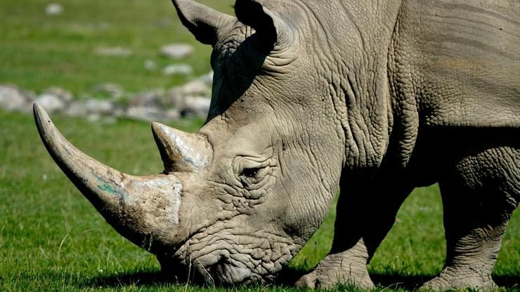 Udaremniony przemyt rogów nosorożców. Były warte ponad 3,5 mln dolarów