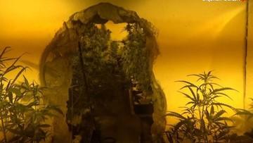 Śląscy policjanci zlikwidowali plantację marihuany. Wartość narkotyków to ponad milion złotych