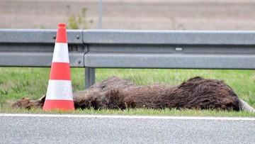 Łoś wbiegł na autostradę i zderzył się z trzema autami. Są ranni