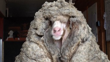 Dzika owca znaleziona w Australii. Miała na sobie 35 kg futra