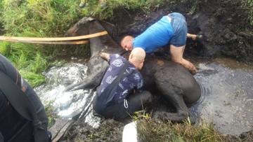 10 strażaków ratowało konia. Ugrzązł w błocie