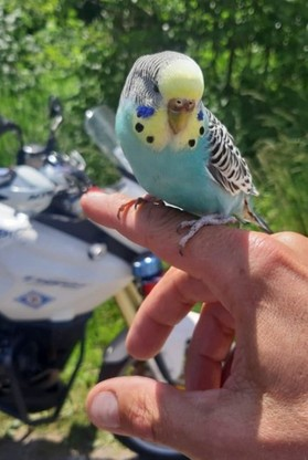 Papuga zainteresowała się pracą policjantów. Była przyjazna i oswojona z człowiekiem