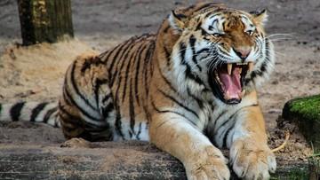 Z zoo uciekły tygrysy. Zginął pracownik