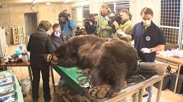 Niedźwiedzie z poznańskiego zoo u dentysty