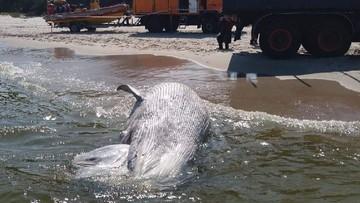 Morze wyrzuciło martwego wieloryba na brzeg. Ssaka już zabrano z plaży
