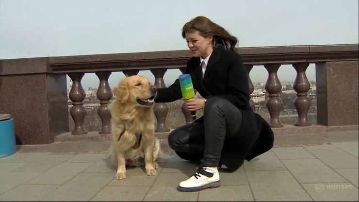 Golden rzucił się na reporterkę podczas relacji na żywo. Pies uciekł z mikrofonem [WIDEO]