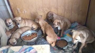 """Limanowa. 33 psy odebrane z domu. Policja: """"schorowane, brudne, zapchlone"""""""