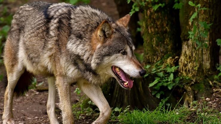 GDOŚ: wilk jest i pozostanie gatunkiem ściśle chronionym