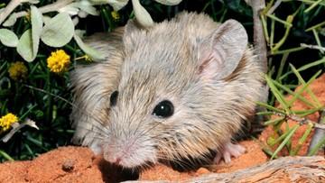 Znaleźli mysz, która miała wyginąć 150 lat temu