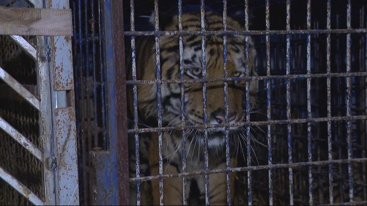 """Dramatyczna walka o uratowanie tygrysów. """"Policja nam nie pomogła"""""""