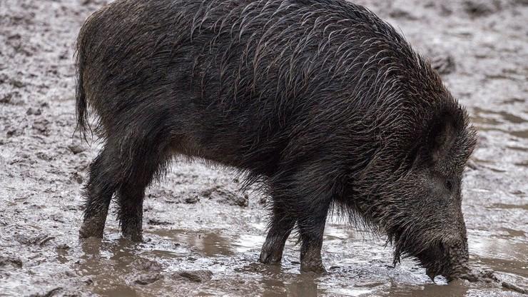 Wirus ASF. Na zachodzie Polski pierwszy przypadek afrykańskiego pomoru świń
