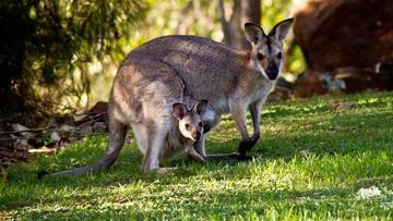 Kangury mogą komunikować się z ludźmi. Najnowsze badania
