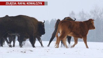 Krowa na gigancie. Miała być przeznaczona na mięso, ale uciekła i dołączyła do stada żubrów