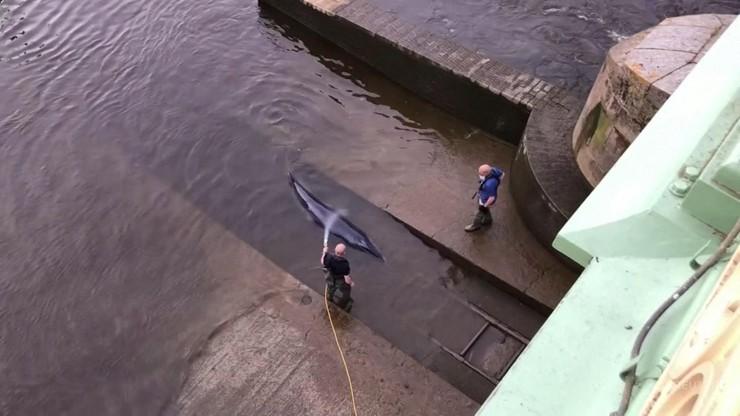 Wielka Brytania. Wieloryb utknął w Tamizie. Uwolnili go ratownicy