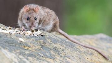 Szczury wywołały więcej szkód w czasie pandemii