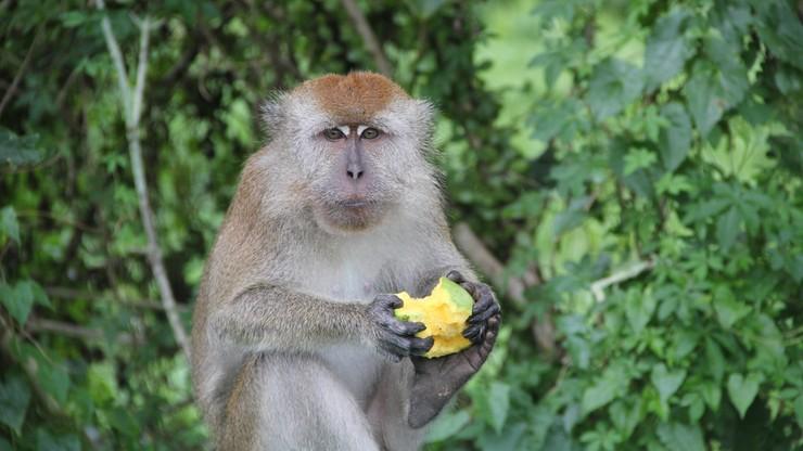 Niemieccy naukowcy zmieniali genetycznie małpy, aby miały objawy Parkinsona. Stracili patent