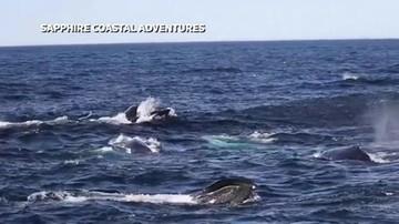 Ponad setka gigantycznych ssaków u wybrzeży Australii. Nigdy wcześniej tego nie widziano