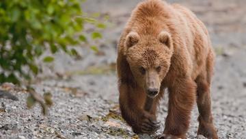 Niedźwiedź grasuje w gminie. Wójt ostrzega przed drapieżnikiem