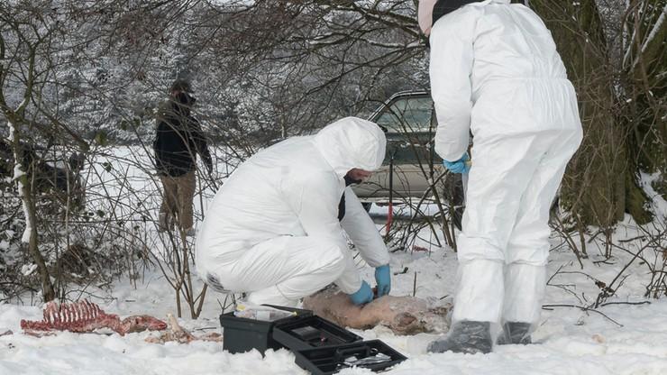 Rozczłonkowane martwe świnie odnalezione w strefie zagrożenia ASF