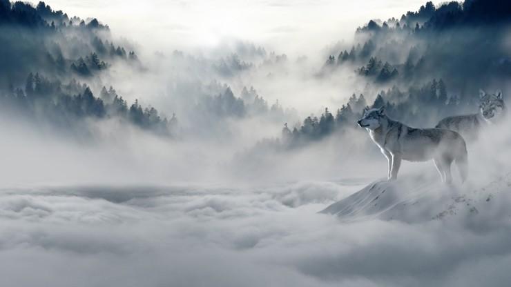 Rzeź wilków w Norwegii. Zabiją 47 z 68 żyjących tam sztuk