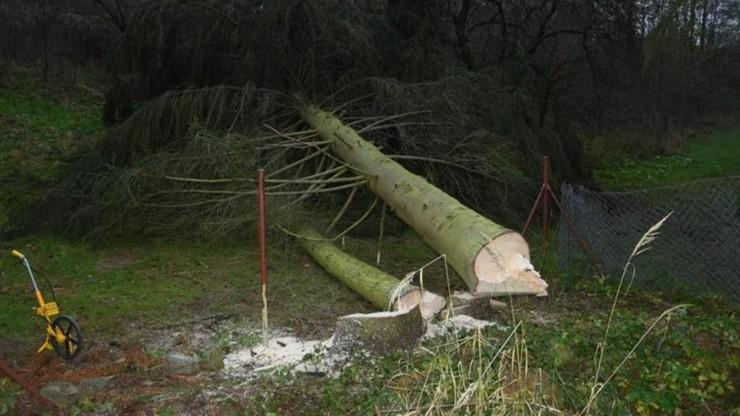 Mężczyzna przygnieciony podczas wycinki drzew