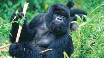 Zoo w San Diego szczepi małpy przeciwko koronawirusowi