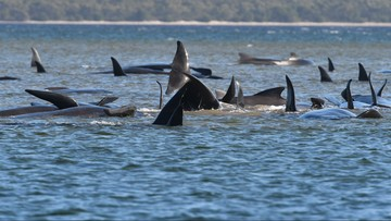 Walenie utknęły na mieliźnie - nie żyje 90 zwierząt. Trwa akcja ratunkowa