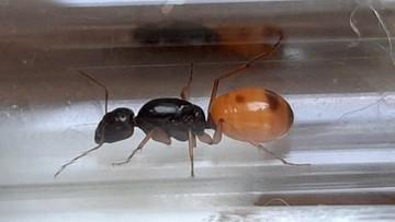 Próba przemytu... mrówek. Owady trafiły na kwarantannę