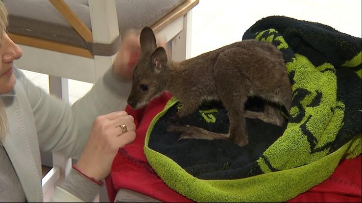 Kangurkiem-sierotą opiekuje się mieszkanka Łodzi