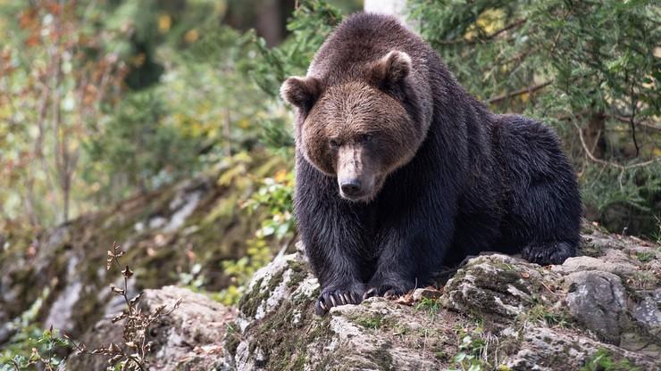 Tatry. Niedźwiedzie pojawiają się w okolicach osiedli. Były widywane m.in. na Gubałówce