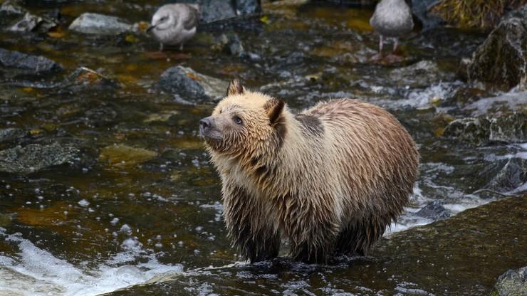 Kanada. Grizzly zaatakował kozicę. Niedźwiedź nie żyje