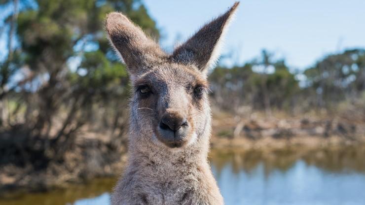 """Modelki w bikini """"zaatakowane"""" przez... kangura [WIDEO]"""