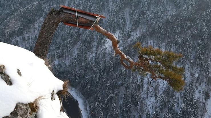 Pienińska sosna z Sokolicy w łubkach. Ratują 500-letnie drzewo, które przeszło amputację