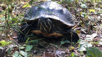 Drapieżny żółw z USA złapany w lesie na Suwalszczyźnie
