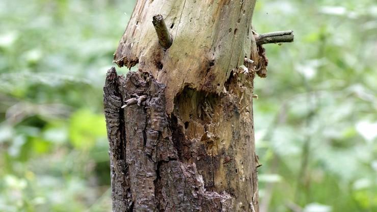 Mąż ścinał drzewo; konar spadł na żonę. 64-latka nie żyje