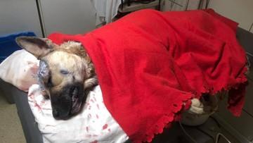 Pies wpadł we wnyki kłusownika. Ten brutalnie się nad nim znęcał