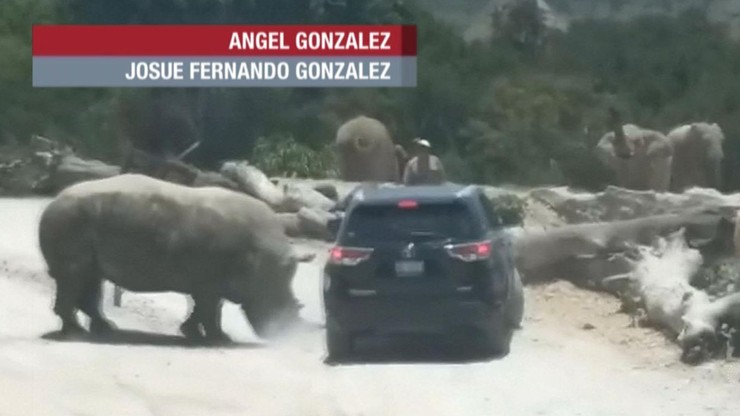 Nosorożec zaatakował auto z turystami