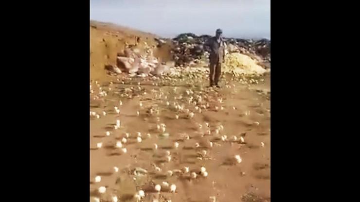 Wysypisko a na nim setki biegających kurczaków. Wykluły się z wyrzuconych jaj