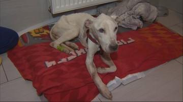 Straż miejska odebrała rodzinie skrajnie wyczerpanego amstaffa. Pies nie jest w stanie chodzić