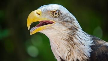 """Holandia: policja chce wykorzystywać orły do zwalczania dronów. """"Obiecujące rezultaty"""""""