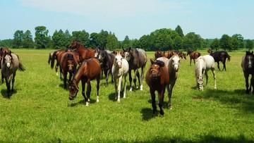 Święto Konia Arabskiego od piątku w Janowie Podlaskim. Aukcja i pokaz koni