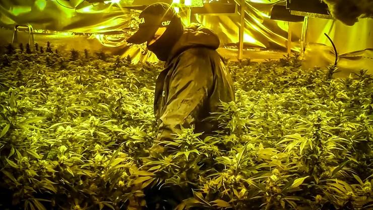 Wietnamczycy założyli plantacje marihuany. Kradli prąd, by było taniej