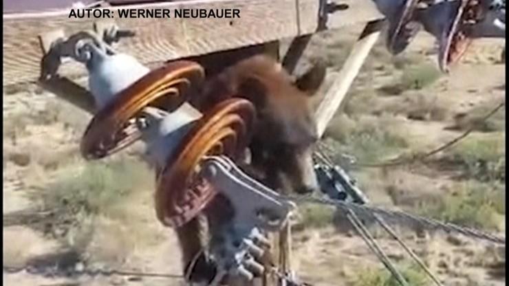 Awaria prądu w USA. Na słupie siedział niedźwiedź